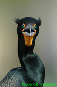 Double-crested cormorant (DCO2)