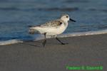 Sanderling running, winter plumage (DSH53)