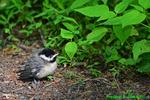 Newly fledged Carolina Chickadee (DSB351)