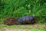 Snapping turtle digging nest hole (DTT6)