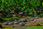 Eastern painted turtles and red-eared slider (DTT13)