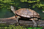 Red-eared slider and Eastern pondhawk dragonfly (DTT67)