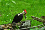 Pileated woodpecker (DBD16)