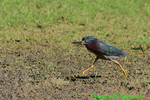 Green heron running (DHR94)