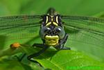 Dragonhunter dragonfly face (DDF553)