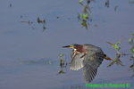 Green heron flying (DHR95)