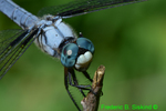 Great blue skimmer (DDF57c)