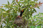 Red-winged blackbird male feeding nestlings (DSB333)