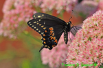 Eastern black swallowtail (DBU243)