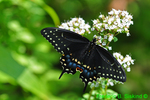 Eastern black swallowtail (DBU244)