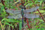 Common green darner (DDF728)