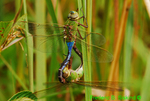 Common green darners mating (DDF729)