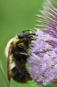 Bumble bee on teasel (DIN715)