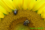 Bumble bees on giant sunflower (DFL178)