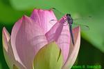 Slaty skimmer on Lotus blossom (DDF382)