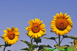 Three giant sunflowers (DFL175)