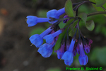 Virginia bluebells (DFL300)