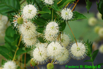 Buttonbush flowers (DFL373)