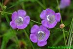 Purple gerardia (DFL426)