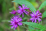 New York ironweed (DFL191)