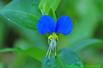 Asiatic Dayflower (DFL29a)