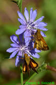 Zabulon skipper butterflies on chicory, open and closed wings (DBU494)