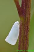 Northern flatid planthopper (DIN151)