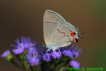 Gray hairstreak (DBU151)