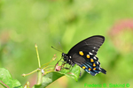 Pipevine swallowtail (DBU453)