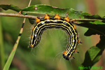 Yellow-necked caterpillar (DCP113)