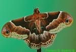Newly emerged Promethia moth  CC (BU931a)