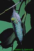 Promethia moth caterpillar making its cocoon (CP830c) CC