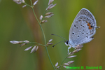Eastern-tailed blue butterfly covered with dew (DBU177)