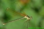 Female American Rubyspot damselfly in spider web (DDF446)