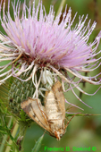 Crab spider with silver spotted skipper on thistle (DSP2)