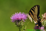 Eastern tiger swallowtail covered in pollen nectoring on thistle (DBU803)