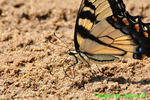 Eastern tiger swallowtail getting minerals (DBU804b)