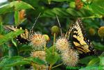 Eastern tiger swallowtails on button bush (DBU805)