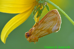 Goldenrod stowaway hanging from tickseed sunflower (DBU356)
