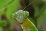 Praying mantis head (DIN589