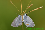 Dew-covered Eastern tailed blues mating (DBU444a)