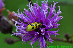 Spotted cucumber beetle on New York ironweed (DIN96)