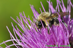 Bumble bee covered with pollen on thistle (DIN713d)