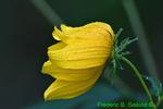 Tickseed sunflower with dew (DFL401)