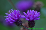 New York Ironweed flowers (DFL512)