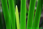 Cattail stems (DFL521)