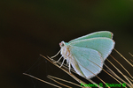 Red-bordered emerald moth (DBU209b)