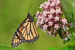 Monarch on milkweed (DBU290)