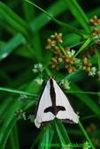 Clymene moth (DBU141)