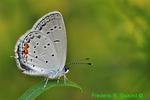 Eastern Tailed Blue (DBU175d)